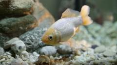 Award winning Gold fish-close up swim by - stock footage