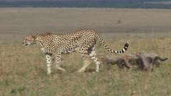 Mother cheetah walks her cubs in the plains Stock Footage