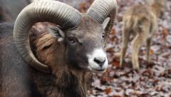 Mouflon Sheep Stock Footage