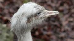 Ostrich Head - stock footage
