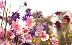 aquilegia 'nora barlow' - stock photo