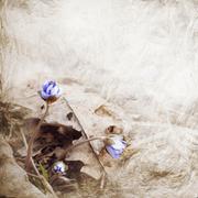 Hepatica blooms Stock Photos