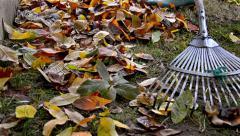 Worker raking neatly with garden rake autumn dry tuliptree leaves in garden, Stock Footage