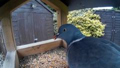 Close up of Pigeon on bird table 001 Stock Footage