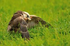 Eating Lanner Falcon on the green ground with prey in beak Stock Photos