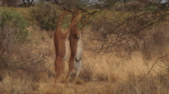 Two gerenuk antelopes standing on two legs to feed Stock Footage