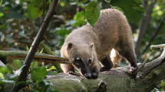 South American coati Stock Footage
