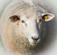 One sheep Stock Photos