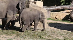 Asiatic Elephant Stock Footage
