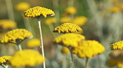 Yellow summer flowers Fernleaf yarrow  in the mountain meadow Stock Footage