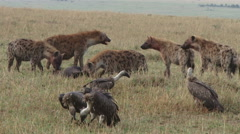 Vultures waiting for their turn to eat. Stock Footage