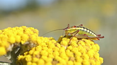 Grasshopper landed on a yellow spring flower on the mountain hills. Stock Footage