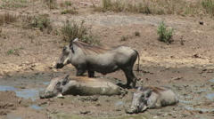 Warthog sleeping in mud Stock Footage