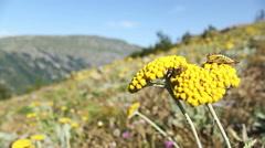 Yellow summer flowers Fernleaf yarrow  in the mountain meadow Stock Footage
