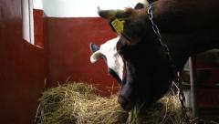 Cows eating hay close-up Stock Footage