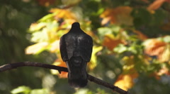 Dove on a branch Stock Footage