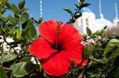 Hibiscus and blue domed church in oia, santorini, greece Stock Photos