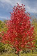 a red maple tree in fall colors - stock photo