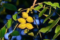 Fruits of a walnut (juglans regia) Stock Photos