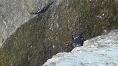 Beautiful sea water crab animal search food rock sunny day seafood ocean wave  - stock footage