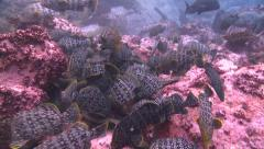 Leather bass with moray eels Malpelo Colombia Stock Footage