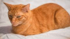 Cat Lying on Bed - Orange Tabby Kitty Being Lazy with Sleepy Eyes Striped Tiger Stock Photos