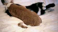 Cats Go from Hugging and Grooming to Vicious Fighting on Bed Stock Footage