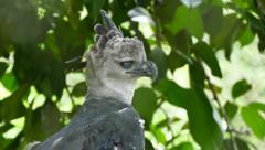 4K UHD - Harpy Eagle (Harpia harpyja) turning around and looking around Stock Footage