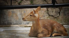 Sika deer, was shut in a cage, the loss of freedom Stock Footage
