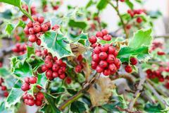 holly branches with fruits (ilex aquifolium) - stock photo