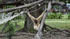 Lar Gibbon (Hylobates lar) Gala Concert. Stock Footage