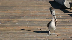 Brown Pelican on Pier Stock Footage
