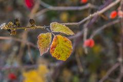 Leaves with hoar frost in winter Stock Photos