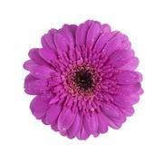 purple gerbera daisy flower isolated - stock photo