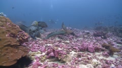 Stock Video Footage of speckled moray eel swimming Malpelo Colombia