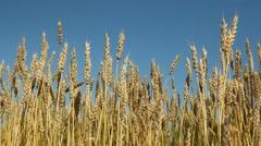 Wheat crop with blue sky. Saskatchewan, Canada. Stock Footage