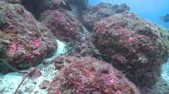 spiny lobster Cocos Costa Rica - stock footage