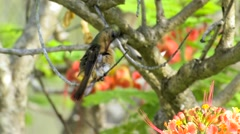 Cinnamon Hummer nabs, spits out mites & debris Stock Footage