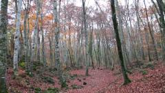 Beech Forest with Falling Leaves in Autumn - stock footage