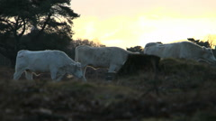 Cows walking free heather sunset Stock Footage