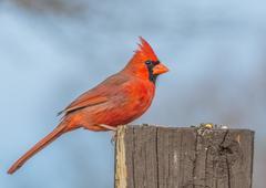 male cardinal - stock photo