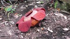 Rafflesia keithii. Stock Footage