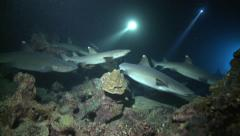 Whitetip reefsharks at night Cocos Costa Rica Stock Footage