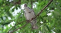 White pigeon sitting on a tree branch Footage