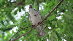 White pigeon sitting on a tree branch - stock footage