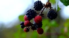 Black berries on bramble bush Stock Footage