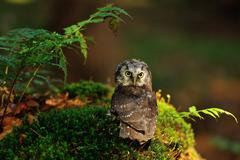 Boreal Owl standing on the moss in the wood - stock photo