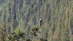 Bald Eagle Perched on a pine tree in Alaska - stock footage