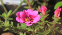 Timelapse. Pink flowers blooming Stock Footage