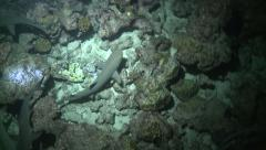 Whitetip reef sharks at night Cocos Costa Rica Stock Footage